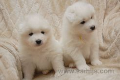 samoyed pappies 5
