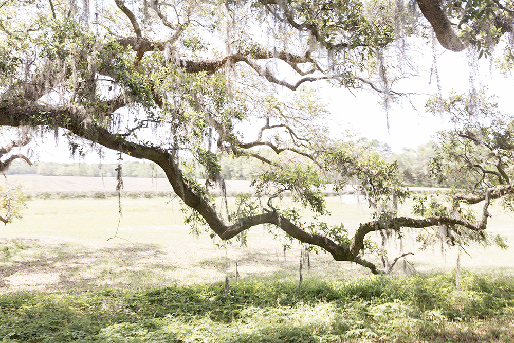 A Lowcountry Treasure: Charleston Tea Plantation