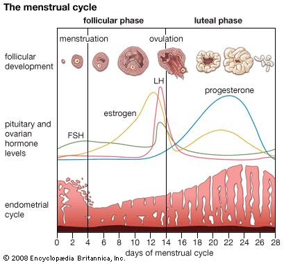 hormone cycle image
