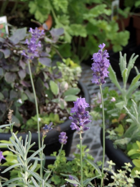 'Hidcote' lavender in mixed planters