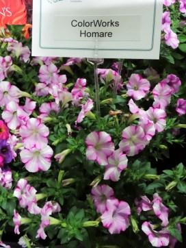 Neat new petunia variety