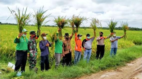 Petani Padi di Kecamatan Teluk Sampit Siap Panen 10,555 Hektare
