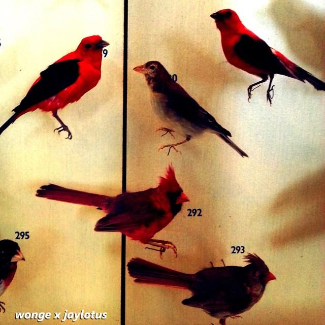 wonge-cardinal-prod-jaylotus