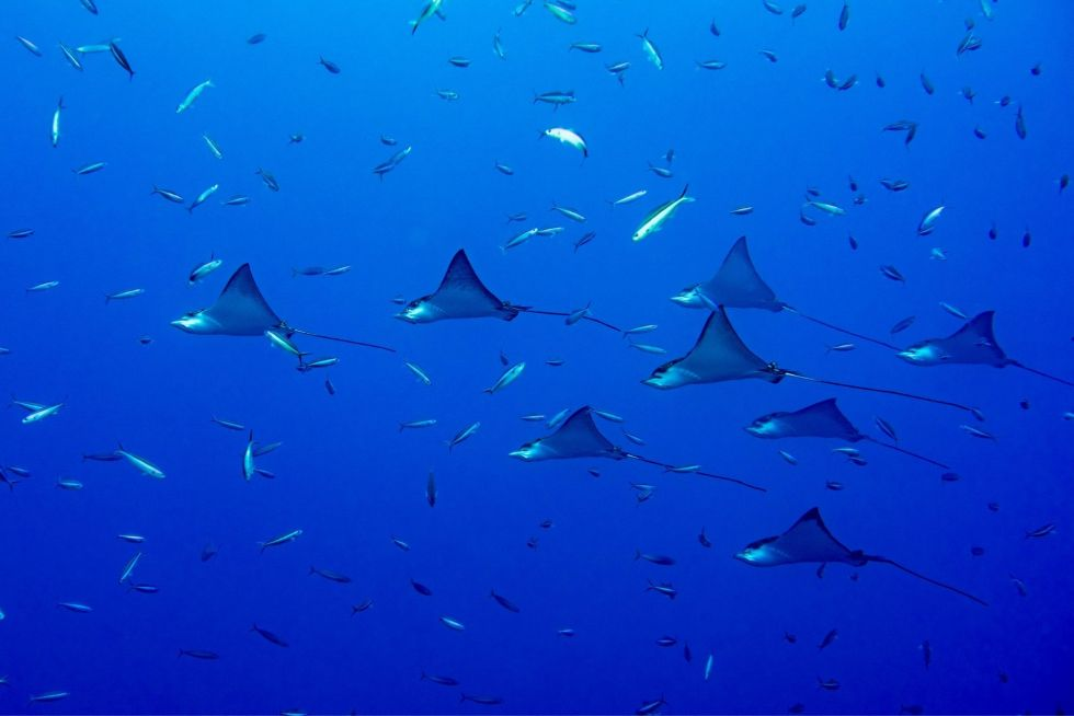Manta Ray Species Found in The Maldives