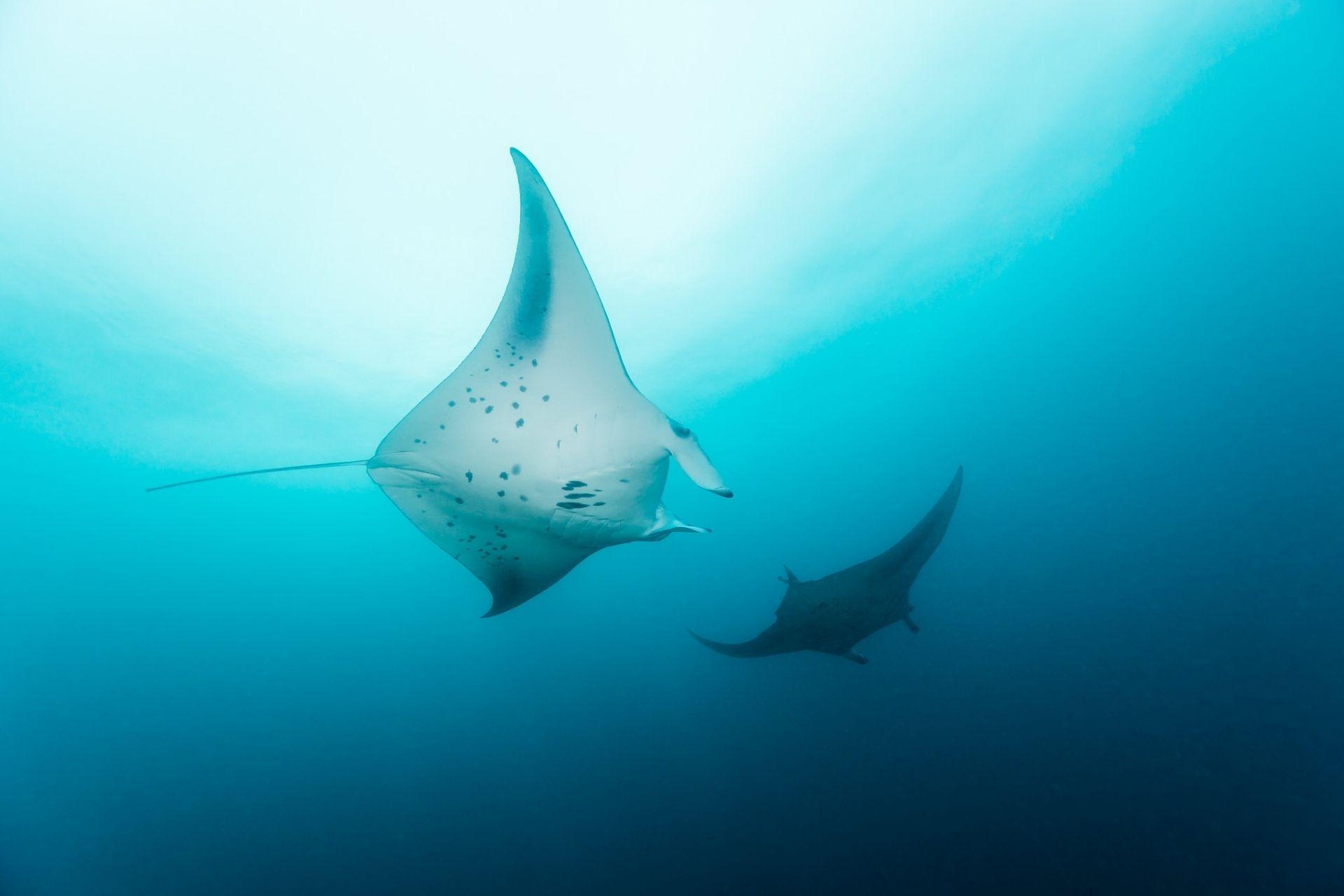 Manta Rays in Maldives (Swimming, Species, Feeding, Watching & Best spots)