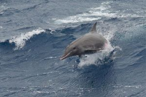 Rough-Toothed Dolphins in Maldives