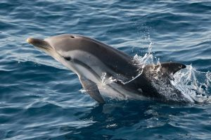 Striped Dolphins in Maldives
