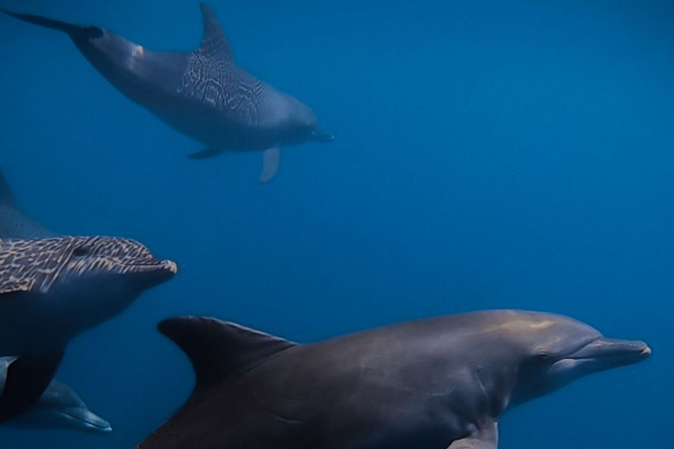 Swimming with Dolphins in Maldives