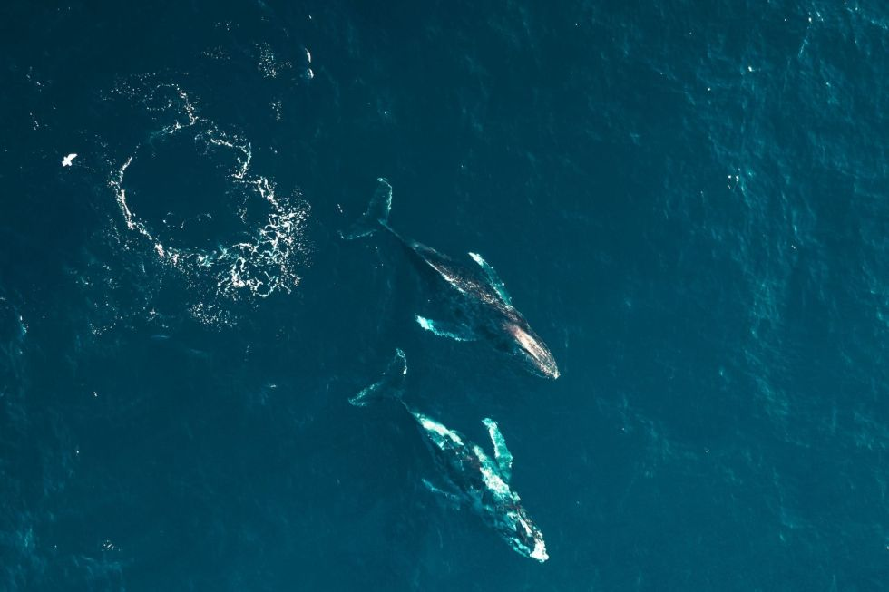 Swimming with Whales in The Maldives