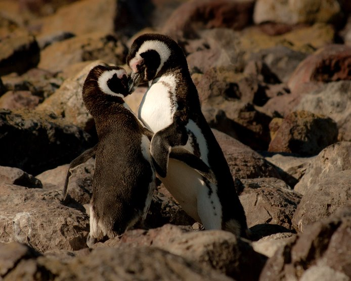 Good partner-penguins
