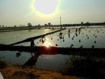 Reisfelder in Indien