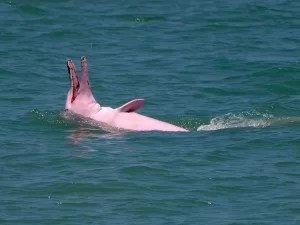 'Irrawaddy' Pink Dolphins at Khanom