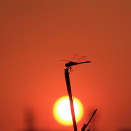 【24の季節とネクタイ】8/23~9/6頃は二十四節気『処暑(しょしょ)』処暑とは暑さが少し和らぐ頃のこと。朝の風や虫の声の気配が漂い出します。赤とんぼにまつむし、ぶどうやいちじく、すだち、かさごにぐちや鰯、百日紅や秋桜、芙蓉。