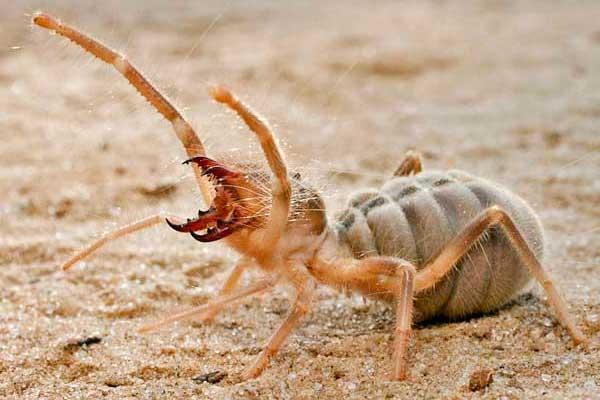 Самый опасный верблюжий паук