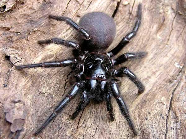 Сиднейский воронковый паук страшный паук