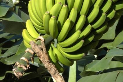 Racimo de Plátanos · Agricultura como tradición · San Andrés y Sauces