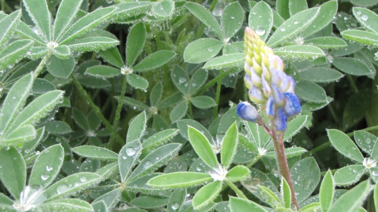 Bluebonnets are already blooming along the San Antonio Mission Reach