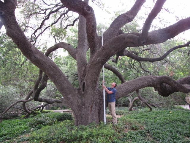 Michael Nentwich measures the Alamo Live Oak