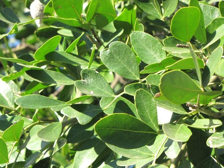 Waxy, evergreen foliage, Texas Mountain Laurel