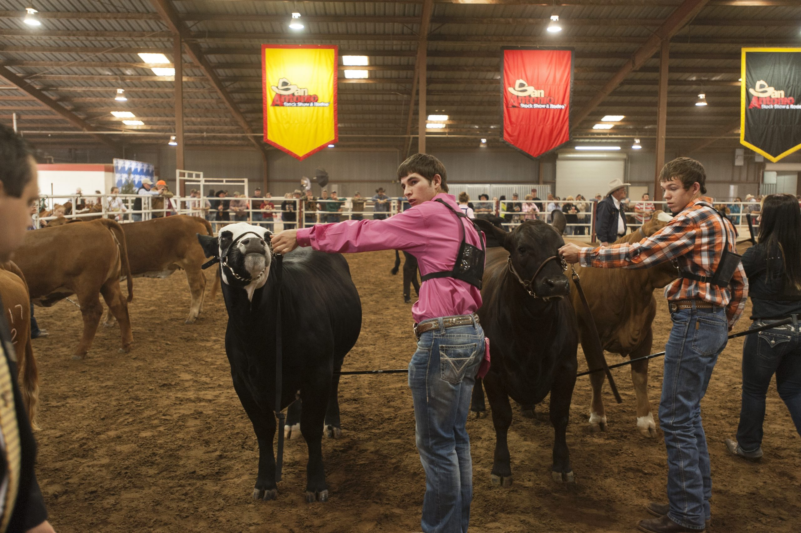 A young man presents his cattle at the 2013 San Antonio Stock Show and Rodeo. Photo by Corey Leamon.