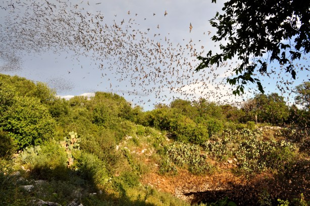 The first batch of Mexican free-tailed bats emerge from the cave's 100-foot wide mouth during the bats' nightly venture out to feed. Photo by Iris Dimmick.