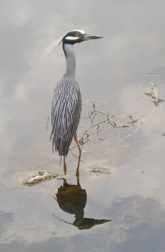 A yellow-crowned night heron pauses on the San Antonio River. Photo by Lee Marlow/SARA.