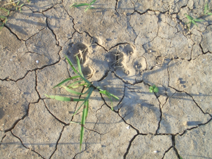 Parched earth needs some watering on grounds of Mission Marquee Plaza. Photo by Lily Casura.