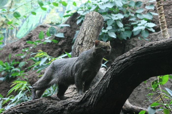 Jaguarundis are native to South Texas coastal environments, close to the approved SpaceX launch site.