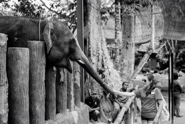 Kuala Gandah Elephant Conservation Center. Photo by Aaron Eisenberg.