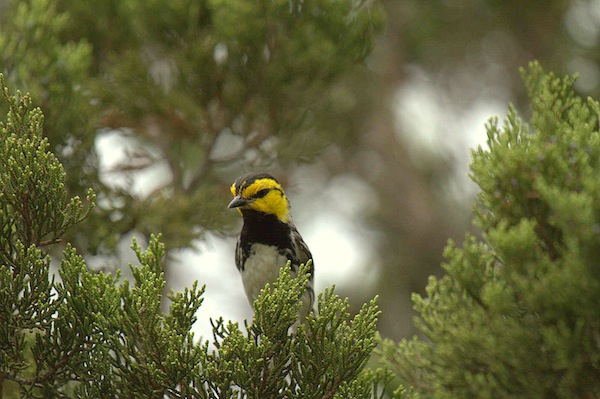 The golden cheeked warbler. Photo by Rick Kostecke, courtesy of The Nature Conservancy.