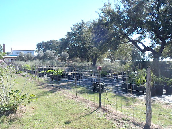 Trees, plants and of course olives grow in the beautiful Sandy Oaks Orchard. Photo by Jackie Calvert.