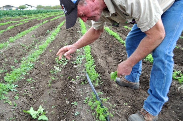 Mike Persyn, San Antonio Food Bank's head farmer, pulls weeds from a row of young carrots. Photo by Iris Dimmick.