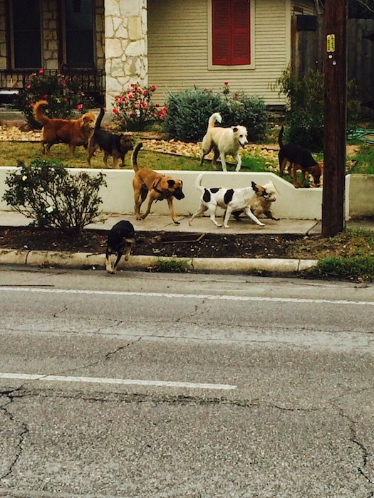 """""""This is my front lawn,"""" said Shirley Gonzales (D5) sharing this photo of eight strays that showed up at her house last week. Photo by Shirley Gonzales."""