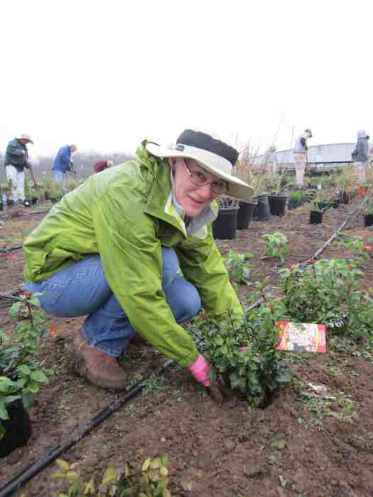 """Katie Behrends volunteers at the drought simulator. """"I like to play with plants in the dirt. It makes me feel good,"""" she said. Photo by Karen Stamm."""