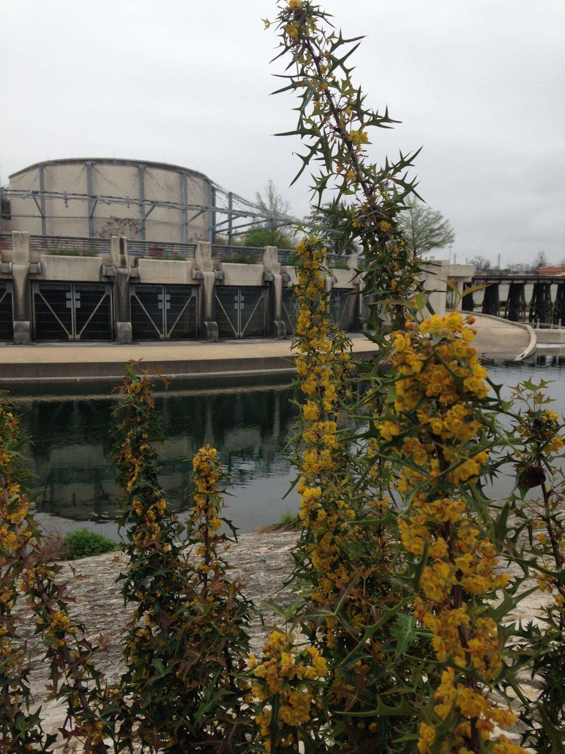 Agarita bloom, Lone Star Bridge