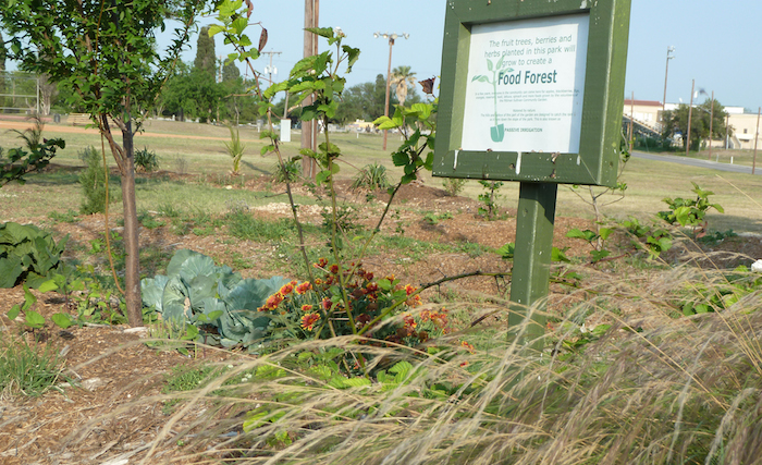 This garden produces vegetables, olives, peaches and berries for the devoted Pittman-Sullivan neighbors who established it in 2009 with Green Spaces Alliance. With this weekend's re-design to make the garden more sustainable, it's hoped the spot will evolve into a mature Food Forest in 15-20 years. Courtesy photo.