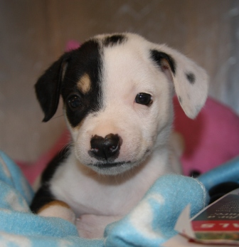 Moo Moo was surrendered to the city shelter at only a few weeks old. Courtesy photo of San Antonio Pets Alive.
