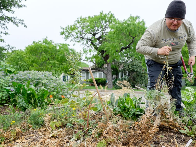 Raul Martinez pulls out weeds from a garden at the GSA Olmos Park Terrace Garden. Photo by Scott Ball.