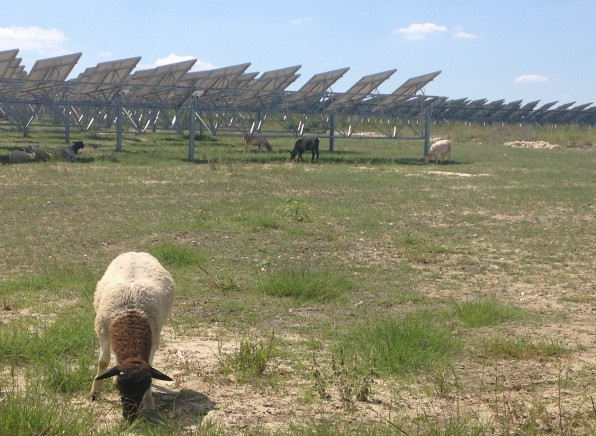 A herd of sheep keep the grass trimmed at OCI Solar Power's 4.4-megawatt solar farm, Alamo 2. Photo Courtesy of CPS Energy.