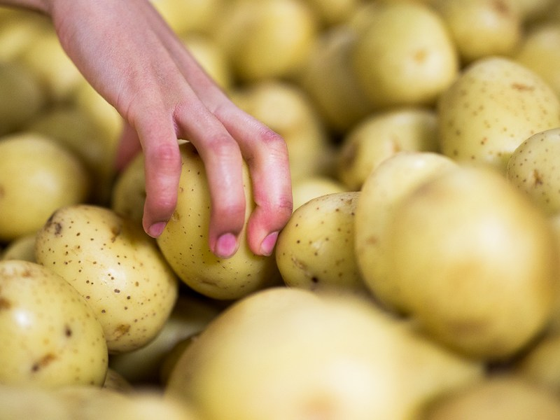 A volunteer grabs gold potatoes for donation. Photo by Scott Ball.