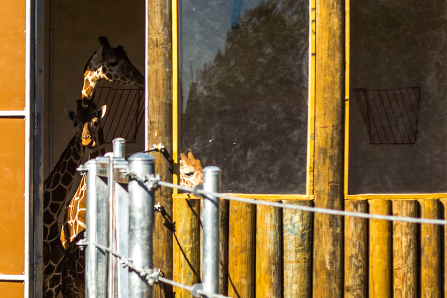 Giraffes look outside their newly renovated feed house as they get aquatinted with their new surroundings. Photo by Scott Ball.