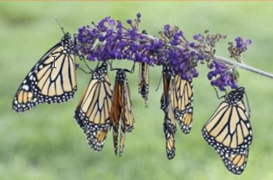 Monarch butterflies. Photo Courtesy of UTSA.