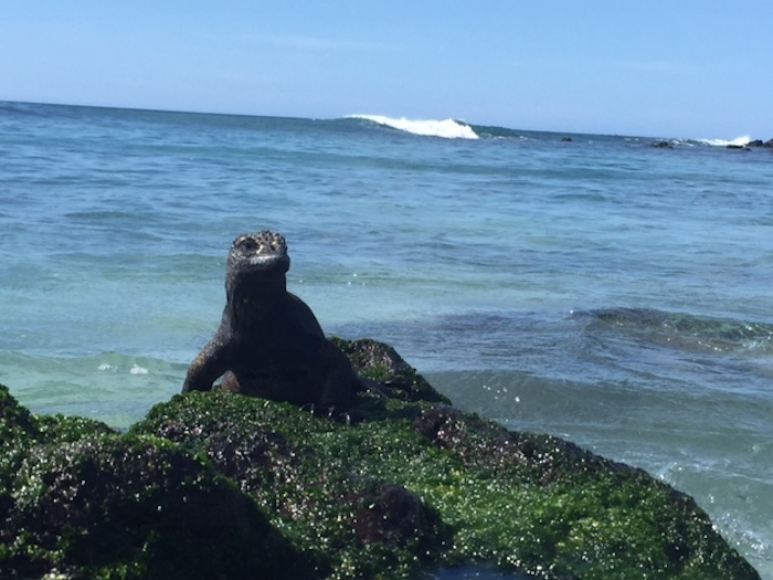 A marine iguana takes a break from swimming. Photo by Everett Redus.