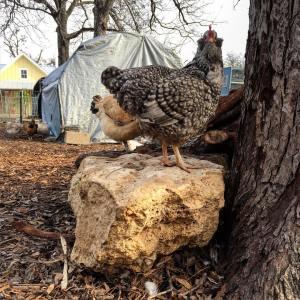 A Bearded Lady chicken at HausBar Urban Farm in Austin. Photo Courtesy.