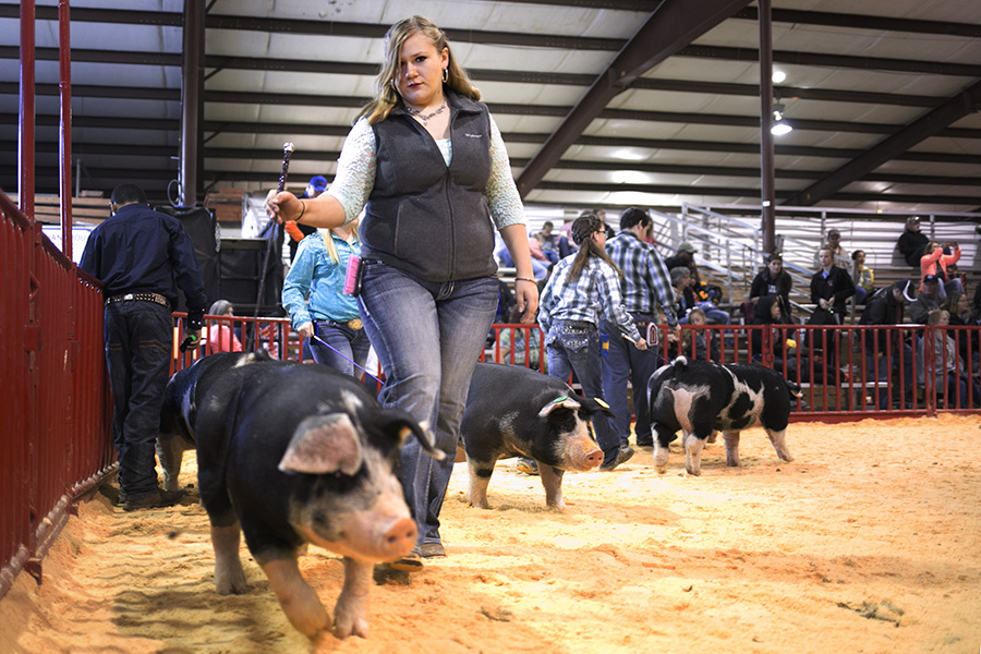 Swine are judged on their overall breeding to determine their quality of meat. Photo by Kathryn Boyd-Batstone
