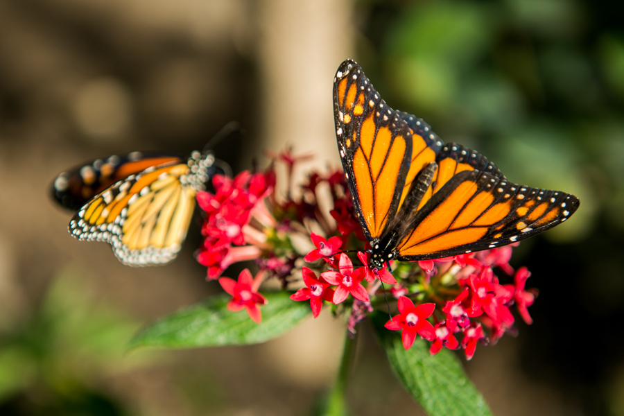 The San Antonio Zoo will be celebrating a three-day Monarch Butterfly Fest starting Friday March 4th. Photo by Kathryn Boyd-Batstone