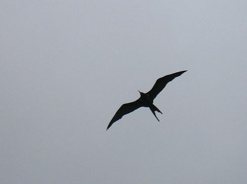 Ascension Island frigate bird. Photo by Ben Tullis via Flickr.