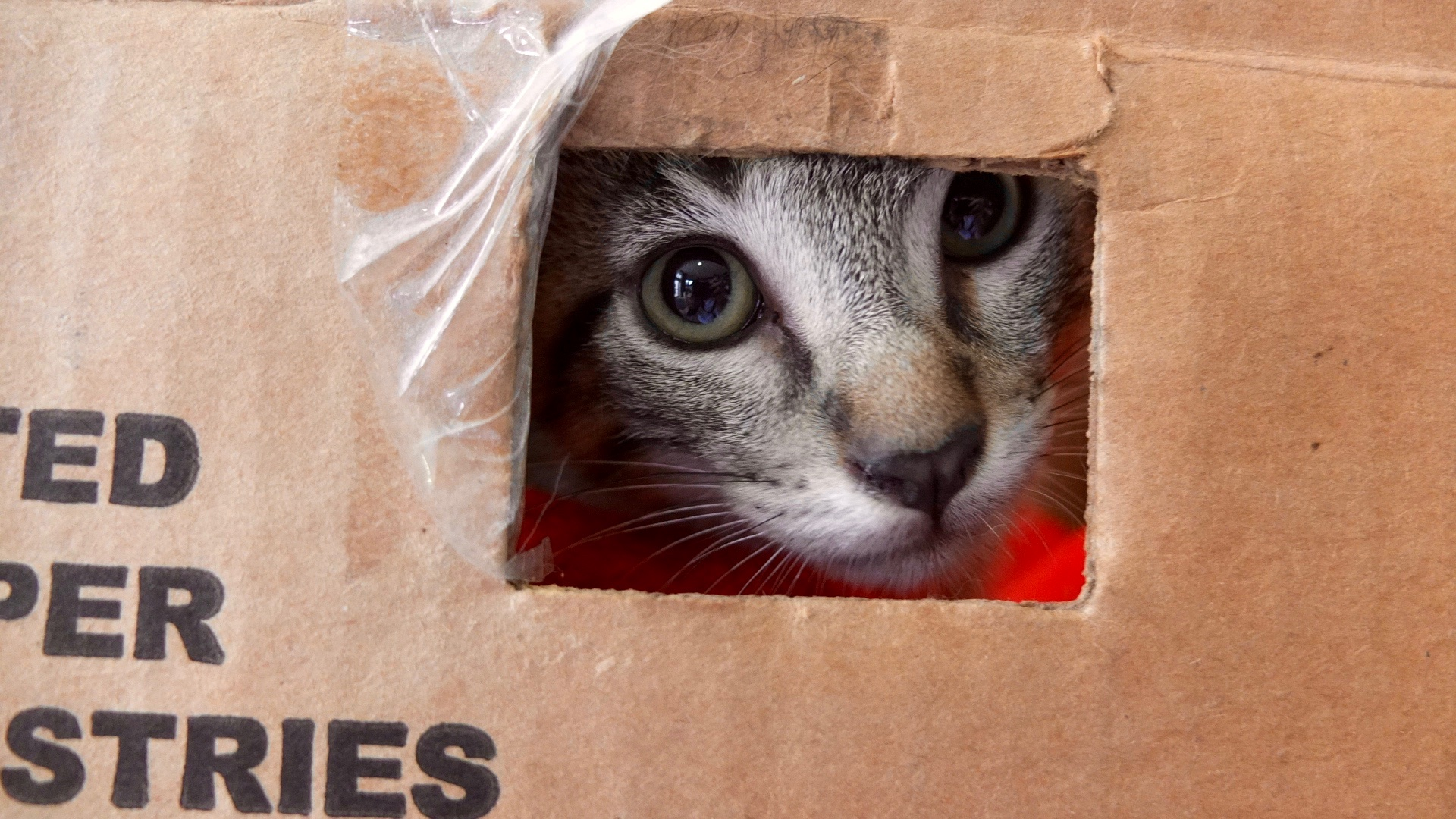 """""""Pete the Cat"""" peeked out through a hole in the cardboard box that his owners, mom Yvonne Salvador and son Joseph, brought him in. Photo by Abbey Francis."""