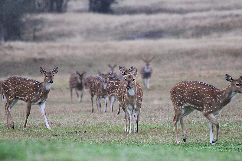 Axis deer wander on Bill Voss' 216-acre property in Grimes County. Voss added whitetail deer, zebra, peacocks and other animals to the property after purchasing it in 2015. Photo by Bill Voss.