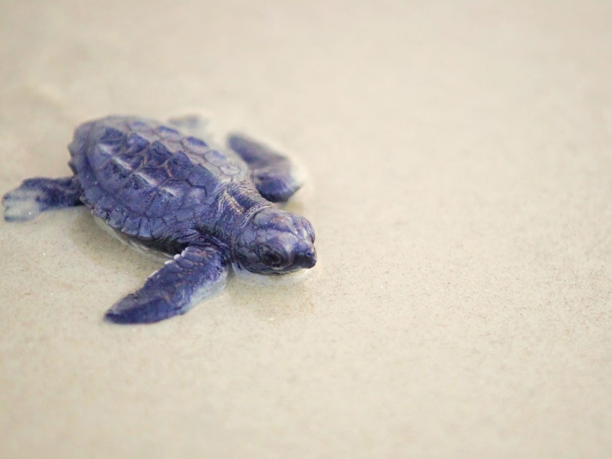 A Kemp's Ridley turtle waddles to the waves at Padre Island National Seashore. Photo by Kathryn Boyd-Batstone.